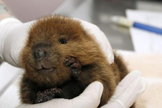 baby-beaver-540x359
