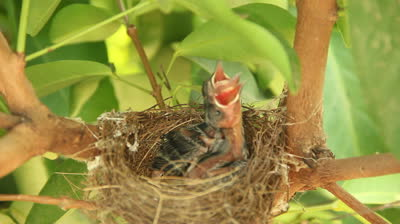 newborn-hungry-baby-birds-in-nest