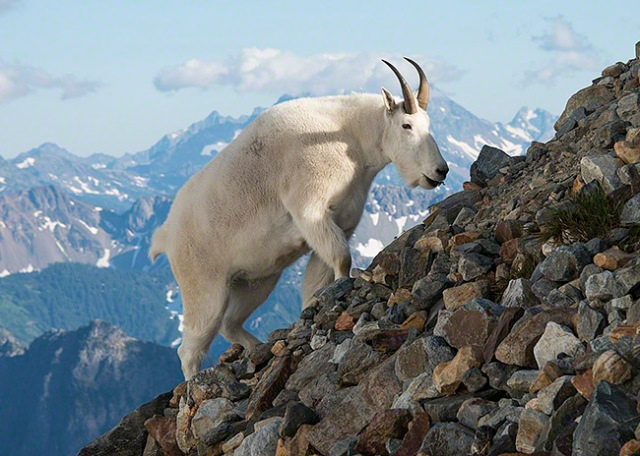 mountain_goat_wa_north_cascades_2012-08-01_069_blog